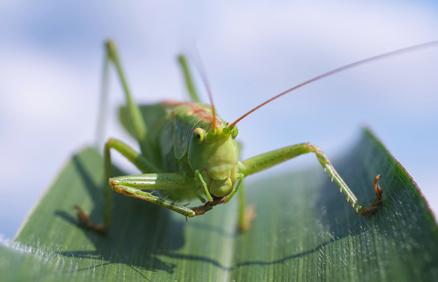 Raising locusts for human consumption: a halachic challenge
